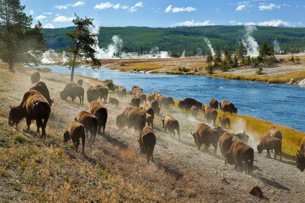 4. Động vật hoang dã ở công viên quốc gia Yellowstone, Mỹ: Công viên quốc gia Yellowstone có quần thể động vật hoang dã quý hiếm đang bị ảnh hưởng bởi việc chụp ảnh quá gần của du khách. Dù nhân viên kiểm lâm cảnh báo không được lại gần động vật hoang dã hơn 8 m, du khách vẫn thường xuyên phá luật khi lái xe tới gần. Mới đây, bức ảnh chụp chiếc xe cán chết một con bê đã gây nhiều phẫn nộ.