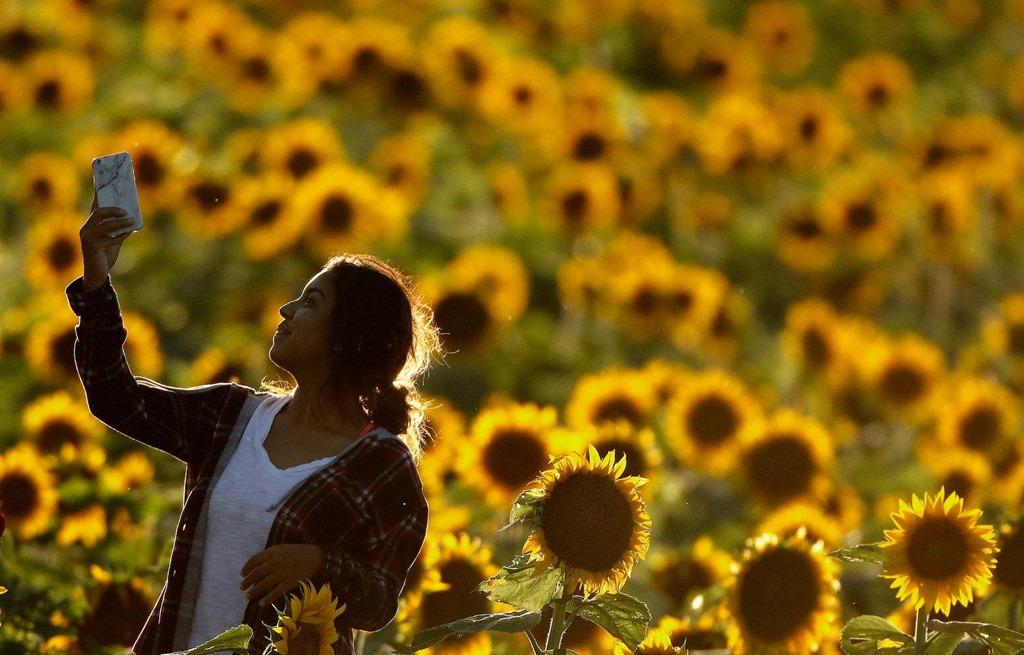 6. Trang trại hoa hướng dương Ontario, Mỹ: Trang trại tuyệt đẹp với hơn 1 triệu bông hoa hướng hương đã phải đóng cửa vô thời hạn vào năm ngoái, khi một vài bức ảnh xuất hiện trên Instagram. Theo ước tính, khoảng 7.000 chiếc xe đã tới đây trong 12 giờ, gây tắc nghẽn và hủy hoại vườn hoa. Gia đình chủ trang trại không thể làm gì khác ngoài việc gọi cảnh sát tới giải tán đám đông.