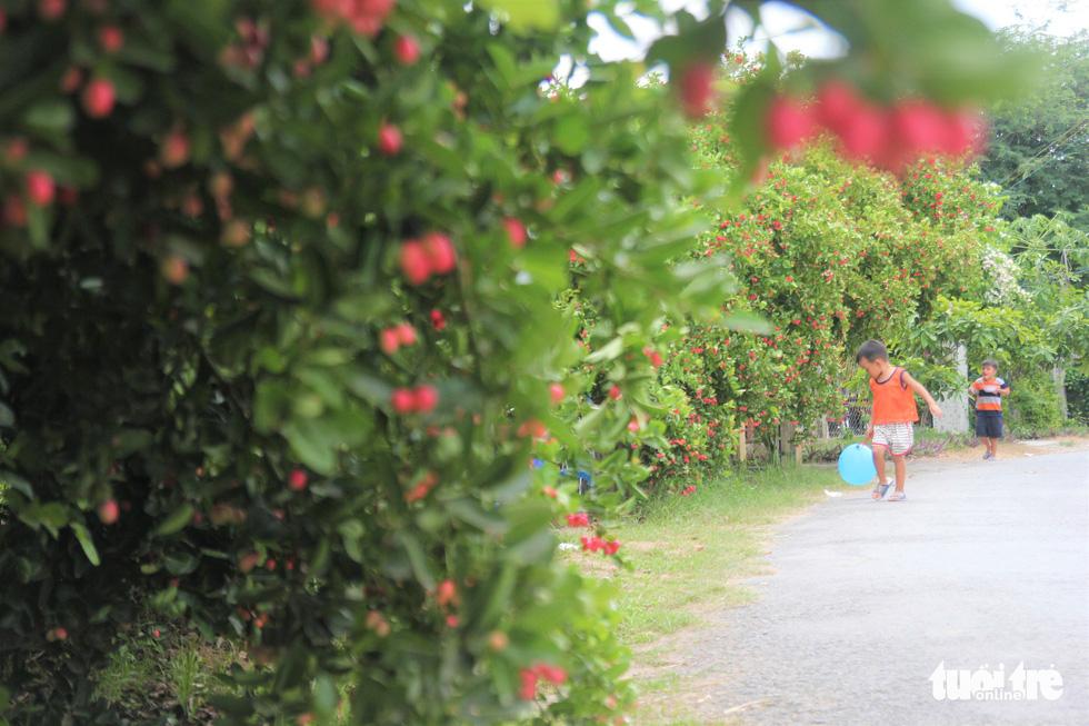 Con đường siro xanh mướt, điểm xuyết những chùm trái chín mộng - Ảnh: MẬU TRƯỜNG
