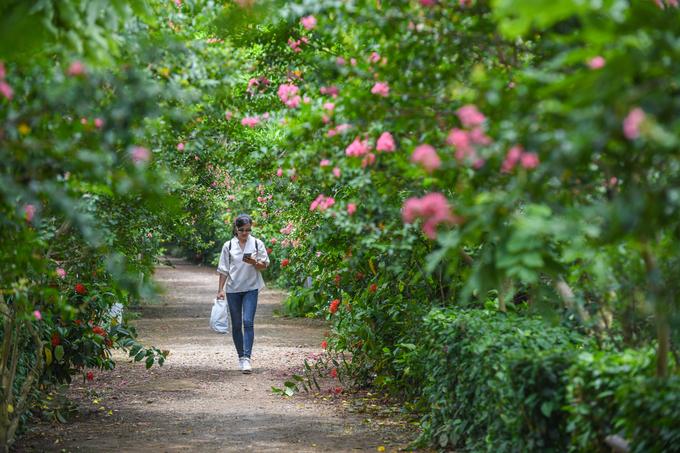 Cách trung tâm TP Hà Nội khoảng 10 km, con đường hoa tường vi ở xã Tam Hiệp, huyện Thanh Trì đang vào mùa nở rộ. Tại đây, 100 gốc tường vi được trồng dọc lối đi.