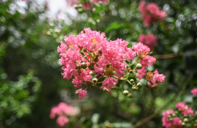 Hoa tường vi khi nở thành từng chùm toả khắp các tán cây, được nhiều người ưa chuộng trồng làm cảnh trong nhà. Đây là loại cây thân gỗ có nguồn gốc từ vùng Đông Á, cao từ 3 đến 5 m.  Anh Đào Mạnh Hùng, chủ vườn hoa cho biết, anh thích tường vi còn bởi loài cây này thể hiện đặc trưng về mùa ở Việt Nam rõ rệt. Cây trút lá vào mùa đông, nảy mầm xanh non khi xuân đến, ra hoa rực rỡ vào mùa hạ và có lá vàng khi thu về.