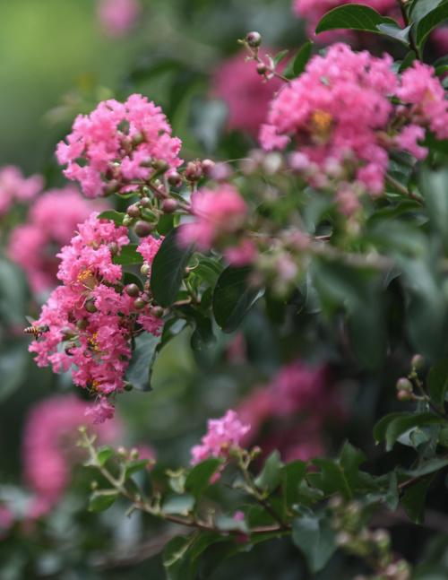 """Mỗi năm cây tường vi ra hoa một lần vào mùa hè, khoảng đầu tháng 6 đến tháng 7. Tại vườn này, những cây tường tiếp tục nở rộ khoảng 10 – 20 ngày tới trước khi thưa thớt và tàn dần.  Chị Nguyễn Thanh Thuỷ (Hưng Yên) chia sẻ: """"Trước đây tôi chỉ thấy tường vi trồng trong chậu thay vì cả hàng dài như thế này. Mùa hoa nở rộ khiến tôi yêu thích khu vườn này""""."""