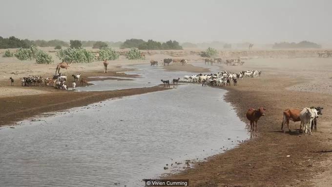 Người Afar cũng sinh sống theo lối du mục. Họ ở trong những túp lều có thể tháo dỡ và chăm sóc đàn gia súc gồm dê, lừa, lạc đà. Sông Awash là dòng nước chính chảy vào khu vực, mang lại sự sống cho người Afar và đàn gia súc của họ.  Awash là một trong những con sông độc đáo nhất trên thế giới. Bắt nguồn từ cao nguyên Ethiopia, sông chảy xuống các hồ trong vùng trũng Danakil. Dưới tác động của ánh nắng mặt trời thiêu đốt, nước hồ bốc hơi và để lại những chảo muối khổng lồ. Ảnh: BBC.