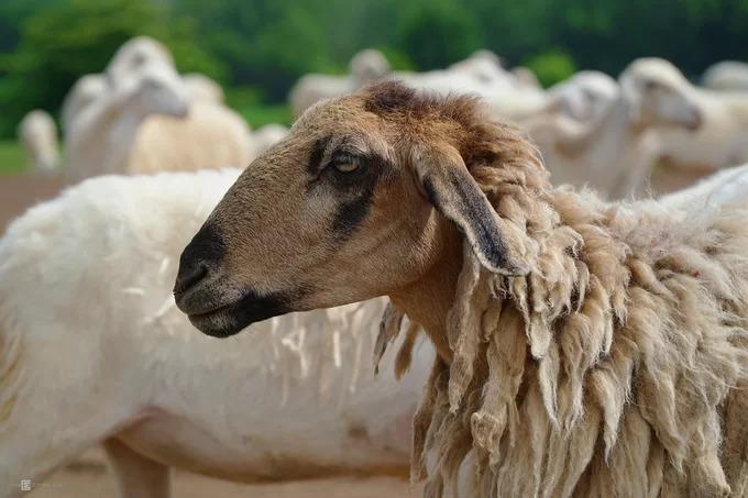 Cừu ở Suối Nghệ chủ yếu nuôi lấy thịt, lông không được sạch và trắng như các loài cừu thường thấy ở nước ngoài. Theo một người nuôi cừu thuê, mỗi năm, con cái thường sinh từ một đến ba con, nuôi khoảng 6 tháng nặng trung bình 35 kg.