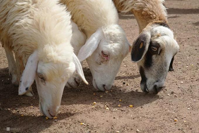 Cứ vài phút, người nuôi quăng ra một nắm bắp cho cừu ăn. Để có được những bức ảnh đẹp, gần gũi với loài vật đáng yêu này, bạn nên nhờ người chăn cừu hỗ trợ trong việc lùa thả.