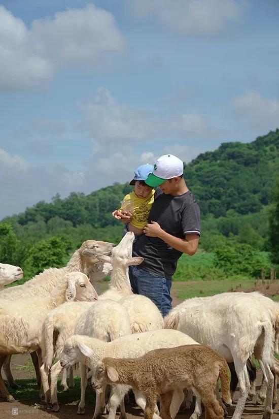 Du khách cũng có thể mua thức ăn để vừa trải nghiệm cho cừu ăn, vừa thu hút được sự chú ý của chúng. Giá mỗi suất ăn cho cừu là 10.000 đồng.