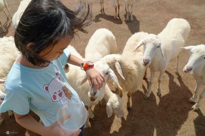 Cừu tại đây khá dạn người nên bạn dễ dàng chạm vào chúng. Loài vật này khá được lòng các em nhỏ.