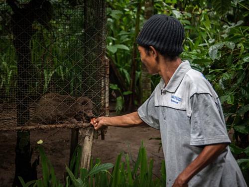 Nông dân cho cầy nuôi nhốt ăn cà phê ở Tampaksiring, đảo Bali, Indonesia. Ảnh: Nicky Loh/World Animal Protection.