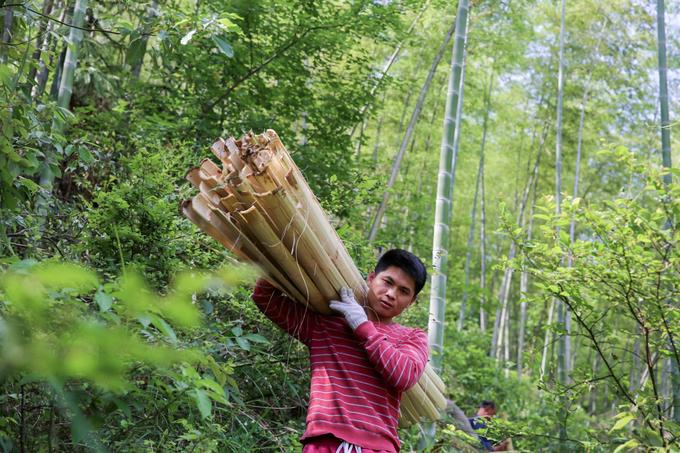 Những rừng tre mọc bên ngoài làng Taolin là nguyên liệu chính để sản xuất giấy. Khi khai thác, họ chọn tre non với phần thân còn tương đối mềm, chẻ ra và gom thành từng bó. Li Qiugui (ảnh), 35 tuổi là người đang học nghề làm giấy lâu đời của gia đình từ năm 2015 đến nay.