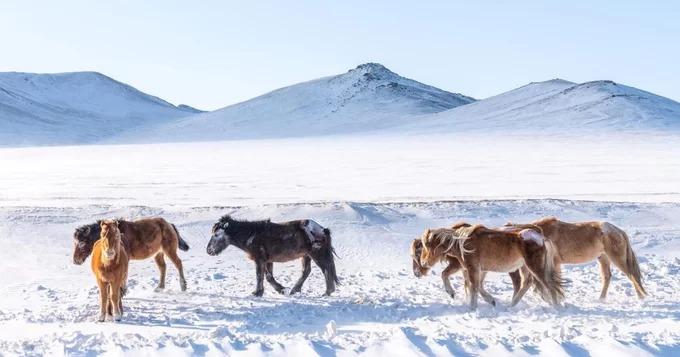 Ngựa là một phần không thể thiếu trong đời sống của người Mông Cổ. Những con ngựa sống theo bày đàn, tự do di chuyển giữa các đồng cỏ thay vì sống trong những lớp hàng rào, chuồng trại. Vào mùa đông khắc nghiệt, người dân quan tâm nhất đến sự sống còn của các loài động vật. Hiện nay Mông Cổ phải đối mặt với tình trạng thiếu cỏ cho các đàn gia súc bởi mùa hè khô hạn, còn mùa đông băng giá kéo dài hơn bình thường.