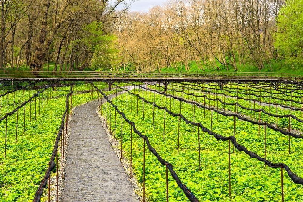 Cách Tokyo 3 giờ lái xe hoặc 2 tiếng rưỡi đi tàu từ Nagoya, bạn sẽ đặt chân tới vùng đất mê hoặc này. Trang trại Daio nằm ở tỉnh Nagano, một trong những nơi có điều kiện tốt nhất trên thế giới để trồng wasabi. Nơi đây trải rộng trên diện tích khoảng 155.000 m2, bao phủ bởi những cánh đồng và rừng cây xanh mướt. Ảnh: Karunpon.