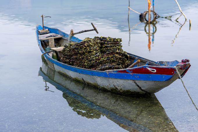 Người dân nuôi hàu trên những chiếc lốp xe cũ và vận chuyển vào bờ bằng thuyền khi số hàu đã đủ tuổi.