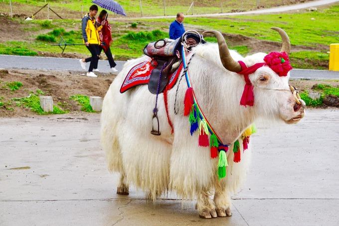 Những chú bò yak lông trắng được nuôi gần tu viện Mật tông cho du khách chụp ảnh. Chúng hiền và có đôi mắt buồn. Khô bò yak là đặc sản để du khách mua về làm quà.
