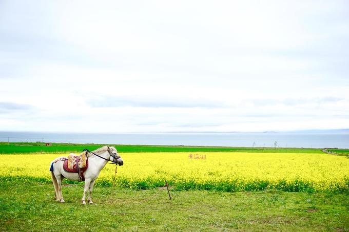 Đến gần, những cánh đồng hoa cải vàng hiện dần ra, vốn là nét đẹp đặc trưng của hồ. Muốn chụp hình ở đồng hoa, du khách phải chi khoảng 10 tệ (tầm 33.000 đồng).