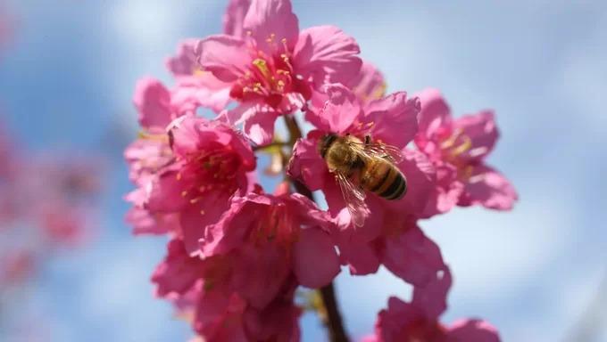 Những bông hoa anh đào ở Australia lúc nở rộ. Bên cạnh hoa anh đào Nhật Bản, khu vườn có những loài cây họ hàng khác như mận anh đào, anh đào Đài Loan, mận anh đào tím… Ảnh: Louise Kennerley.