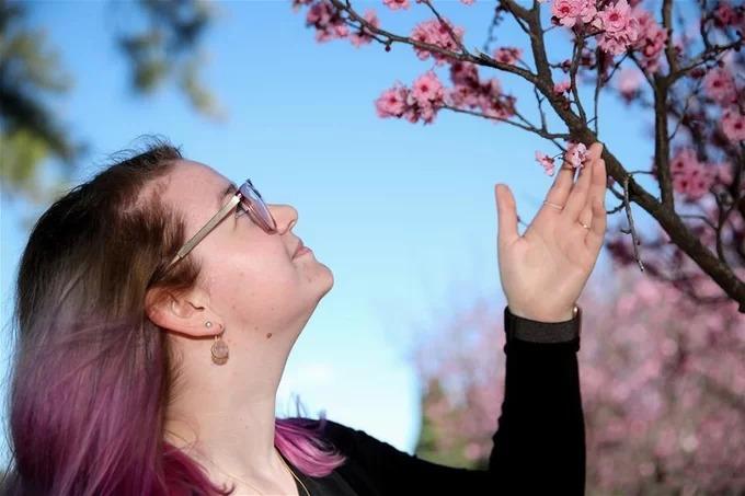 Khách tham quan tại vườn bách thảo Auburn hôm 21/8. Mùa hoa tại đây thường kéo dài khoảng một tháng. Ảnh: Xinhua.