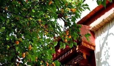 mua-mo-chin-vang-o-ladakh-ivivu-2