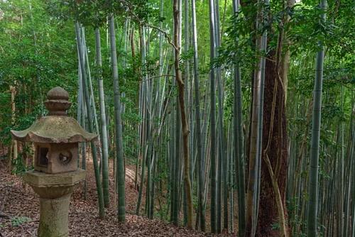 Khu rừng tre gần đền thờ Iwashimizu Hachimangu ở Kyoto. Tre từ khu vực này đã được sử dụng để làm dây tóc cho những bóng đèn đầu tiên. Ảnh: mTaira.