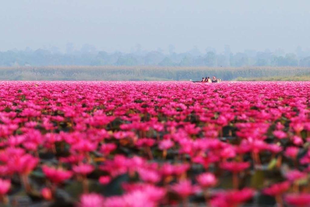 """1. Hồ Sen, Thái Lan: Hồ Sen của Thái Lan còn được mệnh danh là """"Biển sen đỏ"""", nơi bao phủ một sắc đỏ hồng ấn tượng. Sau 10 năm liền bị hạn hán, giờ đây sen ở hồ đã bắt đầu nở trở lại. Từ khoảng tháng 12 đến tháng 3 năm sau là thời điểm thích hợp nhất để tham quan hồ sen."""