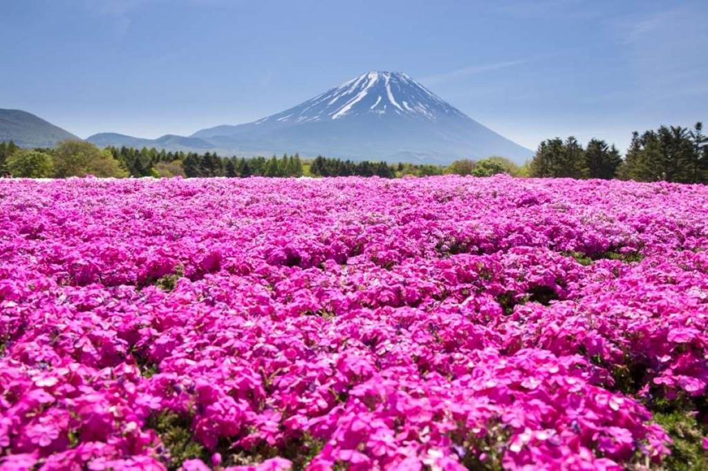 2. Núi Phú Sĩ, Nhật Bản: Mùa xuân ở Nhật Bản luôn rực rỡ sắc hoa. Nơi đặc biệt trong đó phải kể đến núi Phú Sĩ. Vào thời điểm này, dưới chân núi Phú Sĩ thu hút rất đông du khách khắp thế giới đến ngắm hoa hồng nở. Sự kiện này sau đó đã trở thành một lễ hội dành riêng cho hoa hồng ở đây.