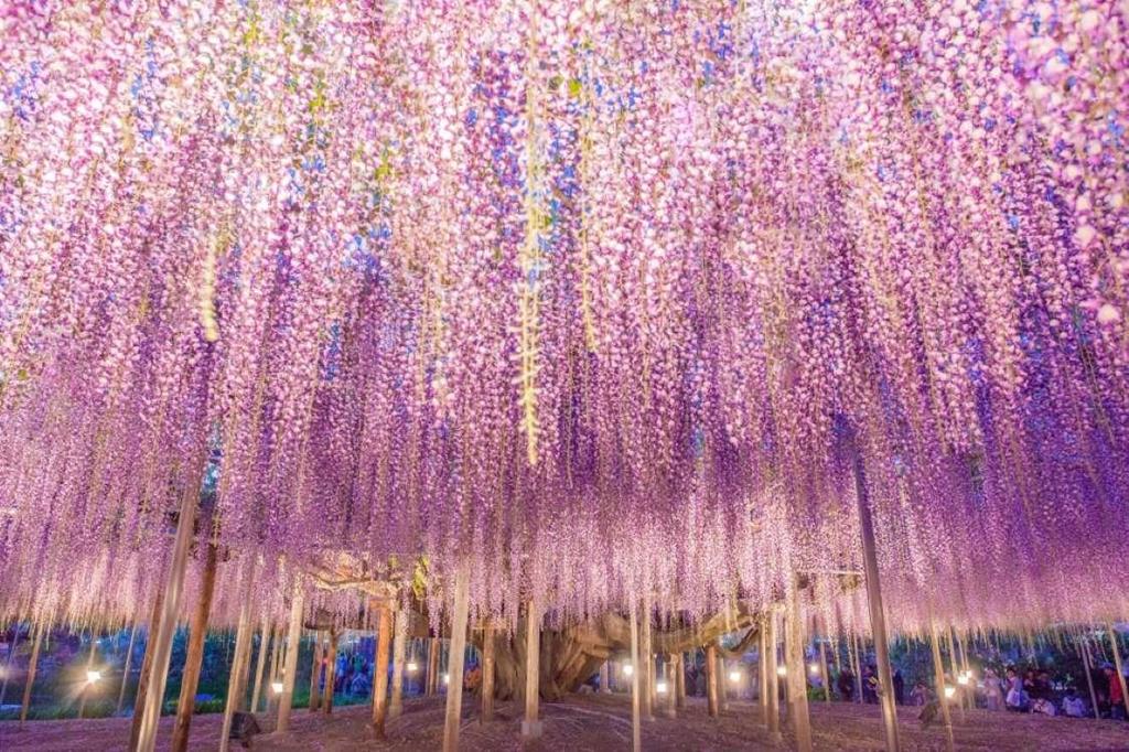 7. Vườn Kawachi Fuji, Nhật Bản: Tới tham quan thế giới hoa đầy màu sắc của Nhật Bản, bạn không thể không nhắc tới vườn Kawachi Fuji. Khu vườn nổi tiếng này sở hữu một đường hầm hoa tử đằng (Wisteria) dài hàng trăm mét phủ sắc tím hồng tuyệt đẹp.