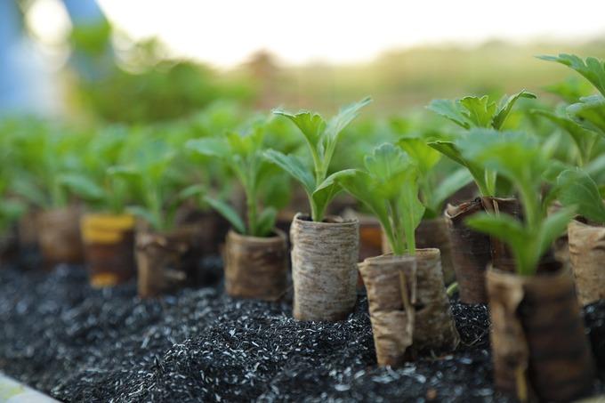 Cây giống được người dân làm bằng tay, chăm sóc trong khoảng 10 ngày rồi đem đi tiêu thụ, lời 50 đồng mỗi chậu.