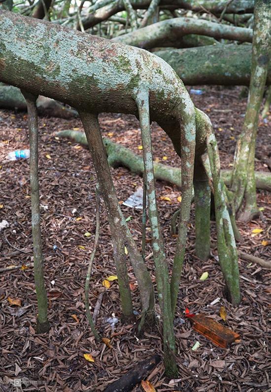 """Cây gừa hay Si có tên khoa học là Ficus Microcarpa, thuộc họ Dâu Tằm. Đây là cây thân gỗ, các rễ phụ theo thời gian mọc từ thân và các cành trên cao. """"Chưa ai đếm được chính xác cây có bao nhiêu rễ nhưng chắc chắn hơn nghìn chiếc. Vì có nhiều rễ như thế cây mới hút đầy đủ nước và chất dinh dưỡng để duy trì sự sống"""", bà Ba Hờn (64 tuổi), người phụ dọn dẹp tại khu di tích, nói."""