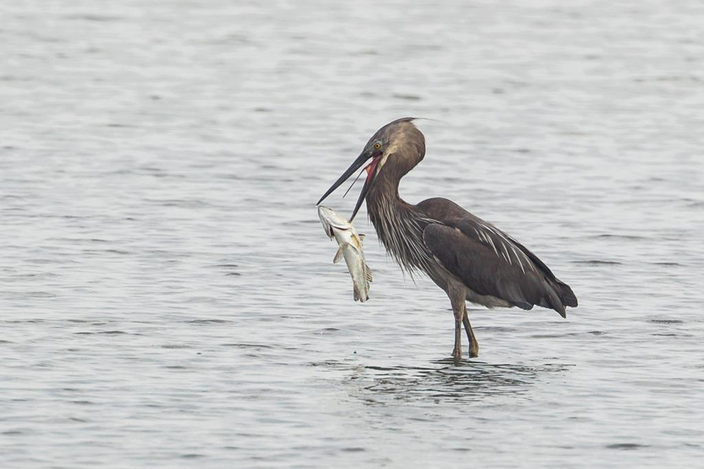 Đảo Semakau là một trong những nơi tốt nhất để ngắm chim ở Singapore. Đây là nơi sinh sống của chim Heron khổng lồ có chiều cao 1,2 m. Cho đến nay, các nhà khoa học đã phát hiện ra 66 loài chim khác nhau sinh sống trên đảo. Trong đó, không ít các loài chim nằm trong danh sách động vật quý hiếm. Ảnh: Singapore Birds Project.