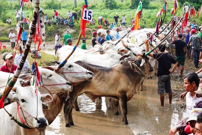 """Từ sáng sớm 21/9, đông đảo đồng bào Khmer đã có mặt quanh những thửa ruộng phía sau chùa Rô (xã An Cư, huyện Tịnh Biên) để xem hội đua bò, cấy mạ. Đây là sân chơi truyền thống dịp Tết Sene Dolta (Lễ cúng ông bà) vào khoảng 29/8 - 1/9 âm lịch của người Khmer vùng Bảy Núi.  Năm nay, sư cả chùa Rô Ta Nhu Chas Cach mời 24 đội đua từ các xã thuộc huyện Tịnh Biên và Tri Tôn về tham dự. Các đôi """"bò chiến"""" được đeo số thứ tự, đứng theo hàng chuẩn bị ra thi đấu."""