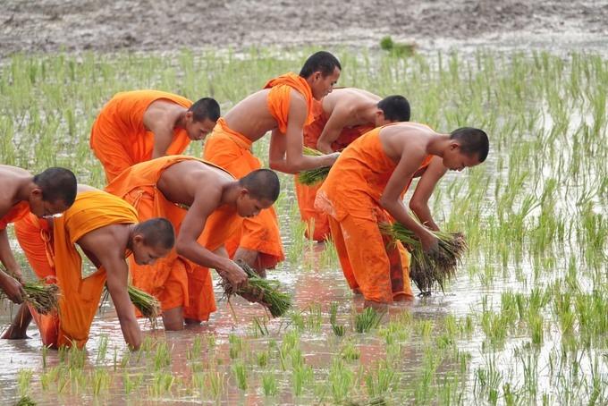 Các sư trong chùa cấy mạ trên cánh đồng sau chùa Rô.