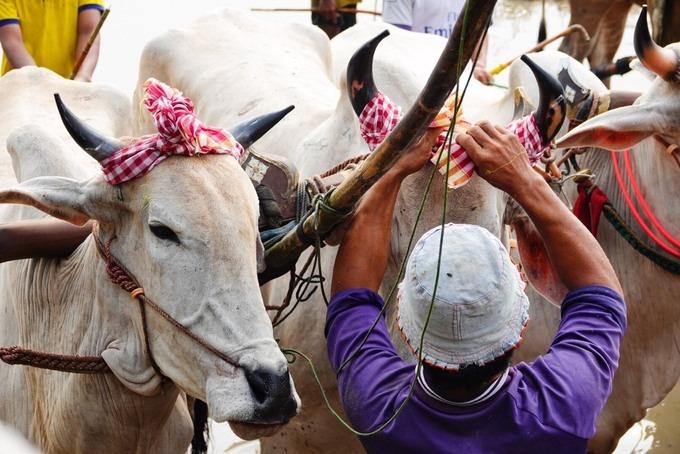Những chiếc khăn rằn được BTC chuẩn bị sẵn, cột lên sừng bò trước khi chúng xuất trận. Các đôi bò thi đấu thuộc giống bò Bảy Núi, vóc dáng khỏe. Chất lượng các đội bò năm nay không quá chênh lệch nhau, vì thế đã có những màn so tài gay cấn và hấp dẫn.