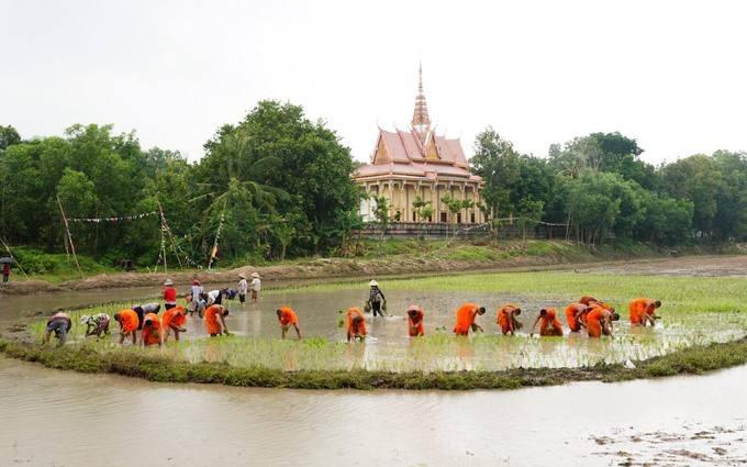 Hội đua bò diễn ra từ sáng đến trưa, các nhà sư cùng bà con cấy mạ vào chiều cùng ngày trên những thửa ruộng phía sau chùa Rô.