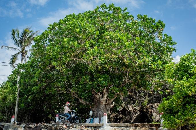 """Một cây bàng cổ thụ với những cành lá sum suê trên con đường bêtông ven đảo. Ngoài cây bàng vuông, trên đảo còn có cây phong ba """"cô đơn"""", rau muống biển, dừa dại..."""