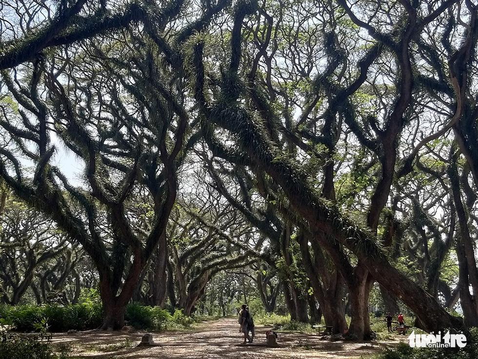 Những thân cây cao lớn mang dáng vẻ huyền hoặc ở rừng De Djawatan - Ảnh: ĐẠI AN