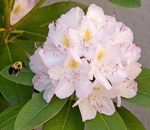 Mật ong điên – độc dược từ dãy Himalaya – iVIVU.com