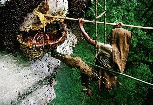 Đỗ quyên chứa mật hoa độc còn có thể được tìm thấy tại Nhật Bản, Australia, New Zealand, Nam Phi hay vài bang của Mỹ. Ảnh: Mark Spencer.