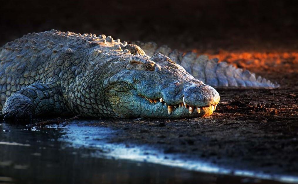 Thay vì sợ hãi, cư dân làng Bazoule, thuộc đất nước Burkina Faso, quốc gia nằm ở Tây Phi, lại chung sống hòa thuận với cá sấu. Điều này thậm chí đã trở thành một truyền thống độc đáo, được giữ gìn qua nhiều thế hệ. Ảnh: Active wild.