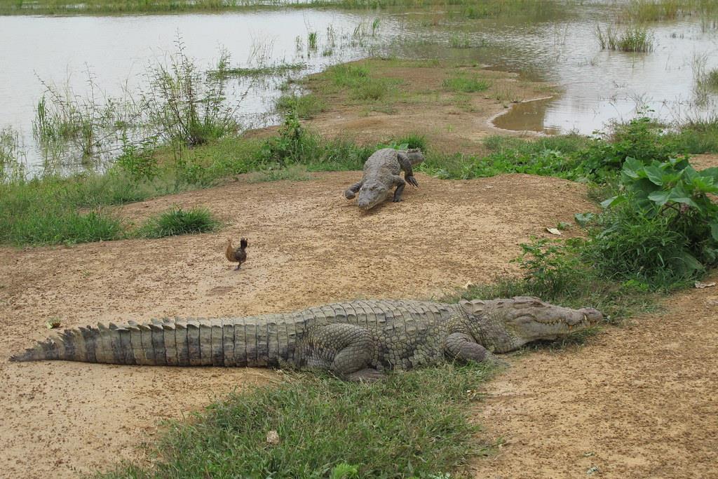 Cá sấu ở Bazoule thuộc họ Suchus Crocodylus, họ hàng với cá sấu sông Nile. Chúng còn được gọi là cá sấu sa mạc hay cá sấu Tây Phi, chủ yếu được tìm thấy trong rừng và các khu vực lân cận. Tổ tiên của chúng đã thích nghi với sự thay đổi môi trường châu Phi, từ thảo nguyên tươi tốt 10.000 năm trước đến hoang mạc Sahara khắc nghiệt và khô cằn thời nay. Ảnh: hiveminer.