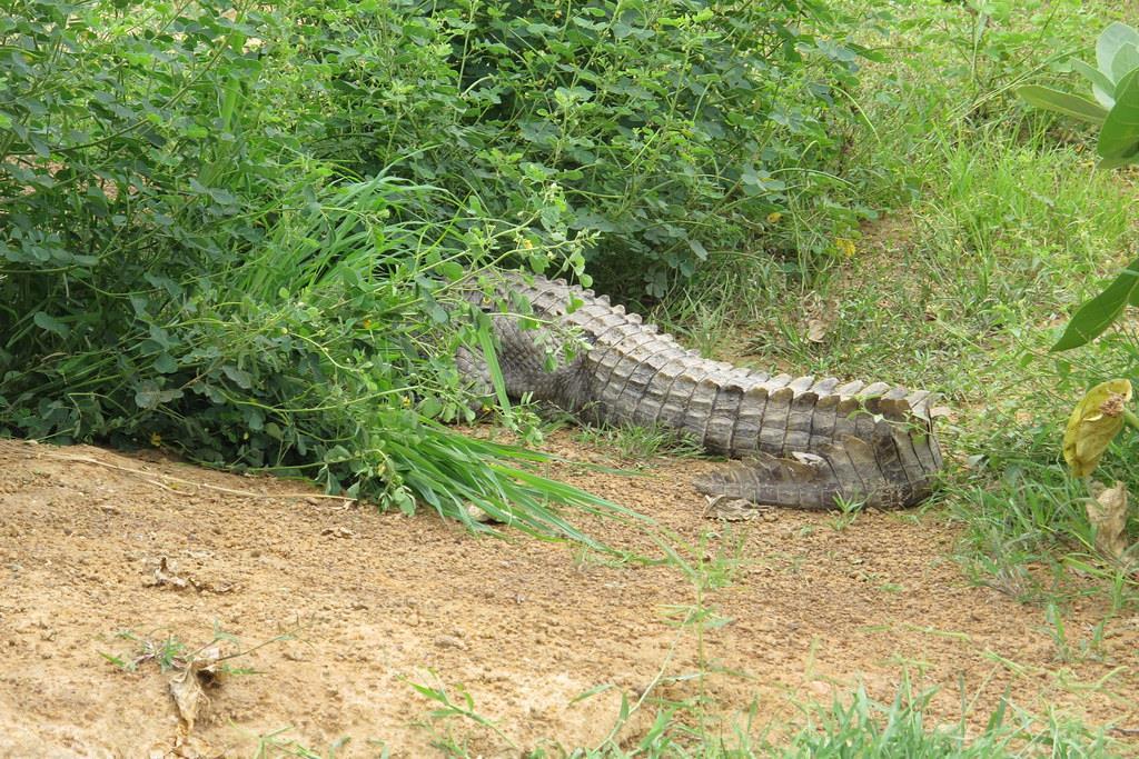 Không giống như cá sấu sông Nile thường thích những con sông lớn, cá sấu Tây Phi sống trong đầm phá, đầm lầy, những khu vực gần rừng. Thậm chí, chúng còn được tìm thấy ở những vùng đất ngập nước hình thành sau những cơn mưa hoặc vùng trũng do nước ngầm từ các con suối. Ảnh: Fiveprime.