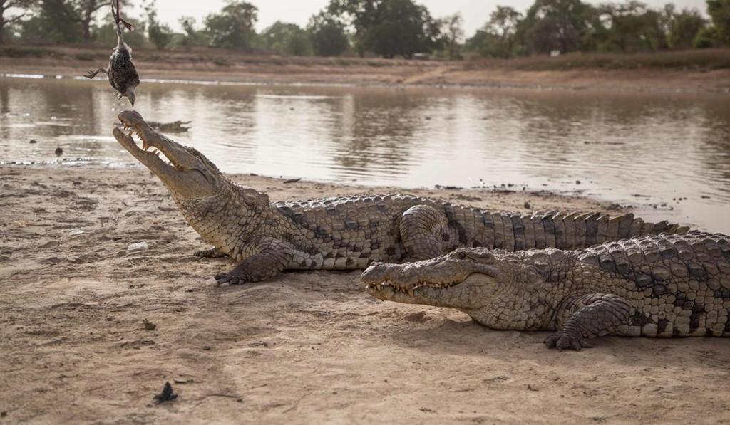 Vào mùa khô, khi nước bốc hơi, cá sấu vượt qua mùa hè một cách khó khăn, đau đớn. Chúng nhịn ăn trong thời gian dài, di chuyển tới những vùng ẩm ướt hơn hoặc đi vào rừng để tránh nắng nóng, khô hạn. Cùng với sự biến đổi khí hậu, số lượng cá thể cá sấu ở Bazoule ngày càng giảm và đứng trước nguy cơ biến mất hoàn toàn. Ảnh: South China Morning Post.