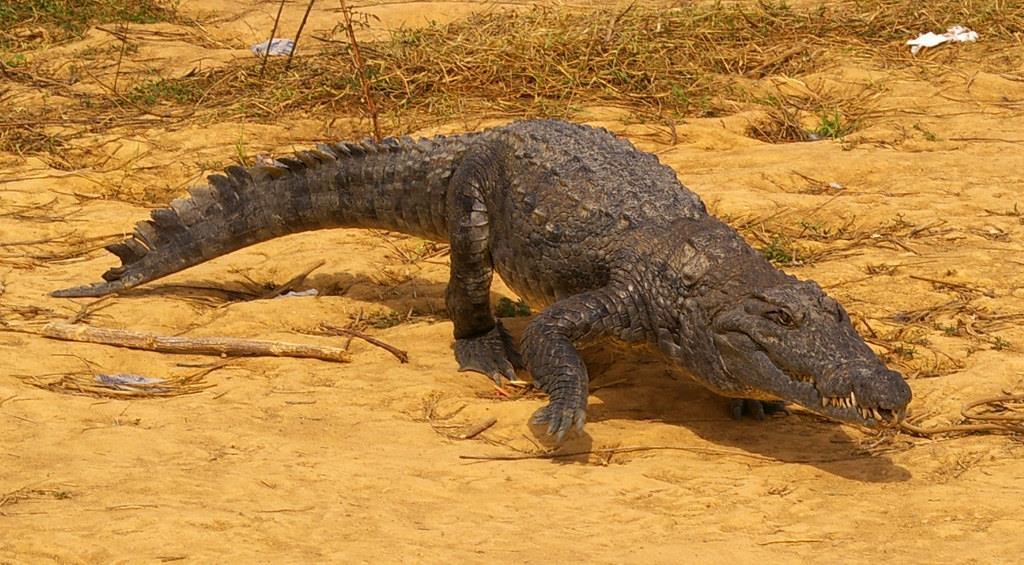 Cá sấu Tây Phi ít hung dữ hơn cá sấu sông Nile và thường không tấn công con người. Không chỉ ngôi làng Bazoule mà còn có nhiều cộng đồng khắp Tây Phi đã sống gần gũi với cá sấu. Thay vì sợ hãi, người dân tôn thờ và bảo vệ chúng khỏi những mối đe dọa. Họ tin rằng cá sấu đến từ bầu trời cùng với những cơn mưa và nếu cá sấu không còn, nước cũng sẽ biến mất. Ảnh: Fiveprime.