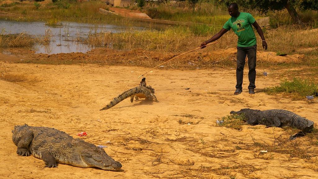 Loài cá sấu linh thiêng này cũng được tìm thấy ở thị trấn Paga, phía tây Burkina Faso. Cả Bazoule và Paga hàng năm đều thu hút nhiều du khách đến tham quan. Hướng dẫn viên sẽ làm mồi từ gà sống và dụ cá sấu ra khỏi hồ. Khách du lịch không chỉ ngắm nhìn mà còn được vỗ về và chụp ảnh với chúng. Đây cũng là trải nghiệm thú vị mà du khách khó lòng bỏ qua khi ghé thăm vùng đất này. Ảnh: Flickr.