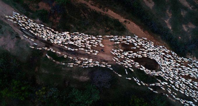 Bức ảnh chụp tại khu vực Phan Rang – Tháp Chàm ghi lại cảnh người du mục dẫn đàn cừu về trang trại sau một ngày chúng đi kiếm ăn. Đây cũng là bức ảnh đẹp nhất trong ngày (Photo of the day) hôm 24/5/2018 của tạp chí Mỹ.