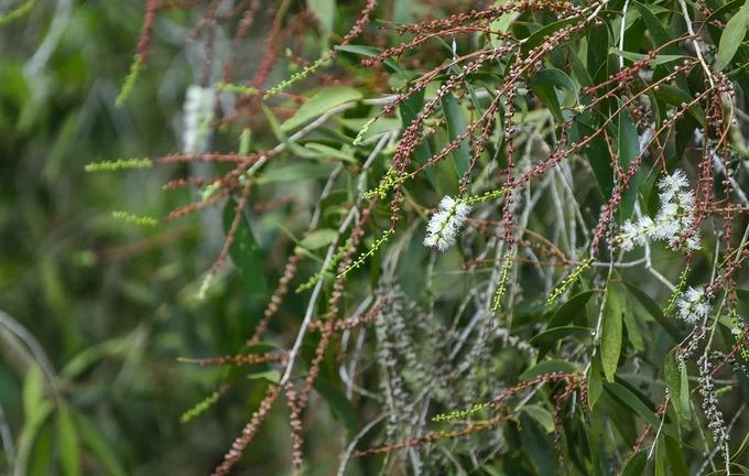 Ở đồng bằng sông Cửu Long, tràm trổ bông quanh năm. Trên đường tham quan, du khách có thể thấy người dân địa phương thu hoạch mật ong hoa tràm từ các thùng nuôi đặt trong rừng. Loại mật này có giá từ 300.000 đến hơn một triệu đồng mỗi lít tuỳ chất lượng.