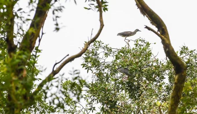 Chim vạc đậu trên ngọn cây tràm trong rừng. Trong chuyến tham quan, du khách sẽ di chuyển bằng xuồng máy và chuyển sang loại thuyền chèo tay (tắc ráng) khi tới vùng lõi khu rừng. Khách tham quan có thể bắt gặp rất nhiều chim đi kiếm ăn, làm tổ và nghe tiếng kêu của chúng trong suốt hành trình khám phá.