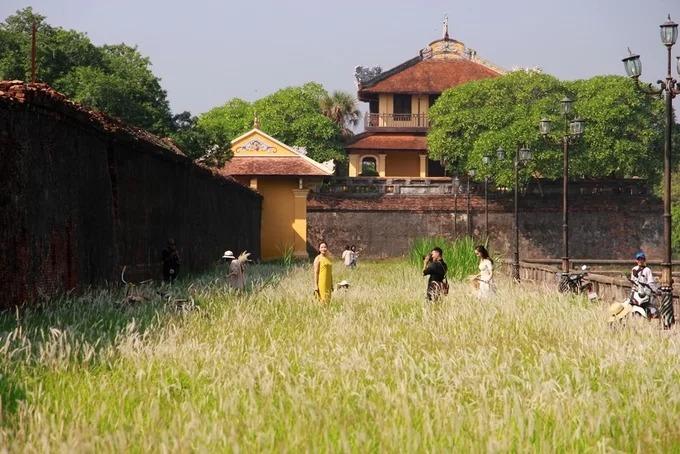 """Những ngày qua, hoa cỏ tranh trong Đại Nội Huế (Thừa - Thiên Huế) nở trắng, hấp dẫn nhiều người tìm đến chụp ảnh """"sống ảo"""". Cỏ tranh thường nở hoa vào cuối tháng 9 và tháng 10 hàng năm."""