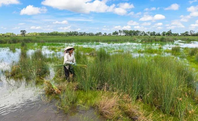 Hàng trăm năm nay, người Khmer ở vùng giáp biên giới Campuchia đã thu hoạch cỏ bàng để làm ra các sản phẩm thủ công phục vụ cho đời sống hàng ngày. Khi tới đồng cỏ bàng ở xã Phú Mỹ, huyện Giang Thành, khách tham quan có thể bắt gặp cảnh người dân đi nhổ cỏ trên những vùng đất ngập nước.