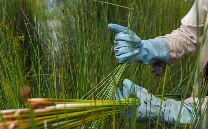 Cỏ bàng được thu hoạch bằng cách cầm gần phần ngọn rồi nhổ cả cây lên thay vì cắt bằng liềm như một số nơi ở Long An. Bên cạnh tất chân, người nông dân còn đeo găng tay khi nhổ để không bị xước. Theo chị Thị Vây (Phú Mỹ), người làm công việc này gần 10 năm, thời gian lấy cỏ bàng từ 12h đến 16h hàng ngày. Các hộ thường đi nhổ cỏ vào những lúc không bận việc trồng lúa, chăn nuôi.