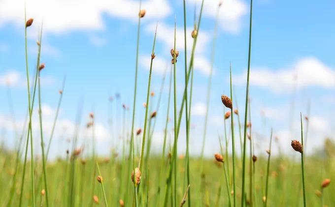 Cỏ bàng là một chi của cây cói, thân cứng, cao khoảng 1,5 m và có hoa màu nâu ở phần ngọn. Loài thực vật này phân bố chủ yếu ở vùng nhiệt đới. Tại Việt Nam, Phú Mỹ là nơi duy nhất còn lại hệ sinh thái đồng cỏ bàng ở đồng bằng sông Cửu Long, với diện tích lớn.