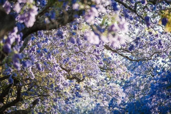 Grafton được coi là thủ đô phượng tím của Australia. Vào tháng 10, 11, hơn 4.000 cây nở hoa, phủ kín một khoảng trời ở thung lũng sông Clarence. Ảnh: My Clarence Valley.